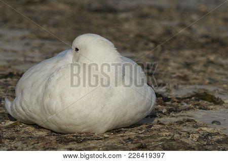 Male Kelp Goose (chloephaga Hybrida Malvinarum) Sitting On The Beach On Carcass Island In The Falkla