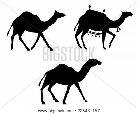 Silhouettes Of Camels. Animals Isolated On White Background.