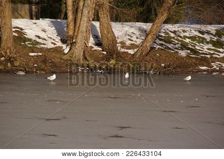Ducks And Birds Which Swim In A Lake Frozen With An Icy (frosty) Water, Surrounded With Snow. It Is