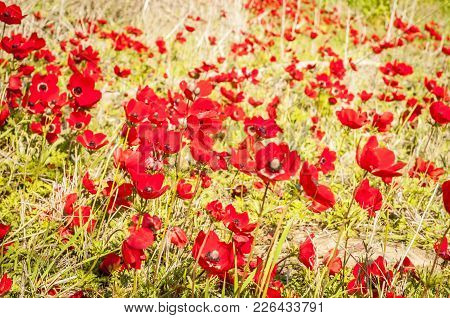 Red Anemones In Blossom In The Negev Desert, Israel. Flowering Negev Desert In The Spring Stock Imag