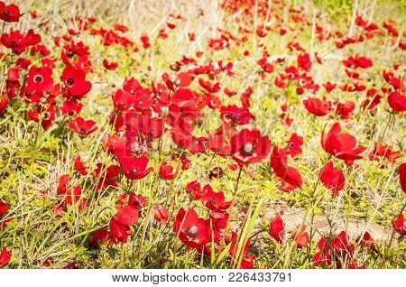 Red Anemones In Blossom In The Negev Desert, Israel. Flowering Negev Desert In The Spring Stock Imag