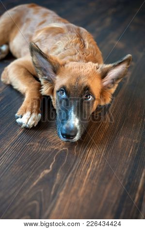 Redhead Mexican Hairless Dog Looks Frightened On The Floor