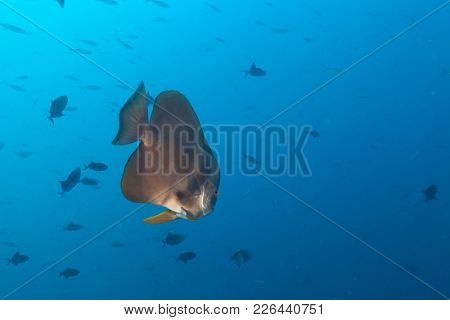 Big flat fish in Indian ocean, Maldives atoll. Underwater photography