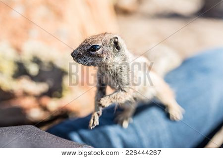 Close-up Of Barbary Ground Squirrel On A Person's Leg