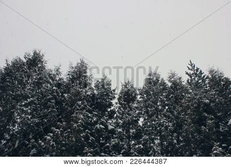 Forest Trees Foggy Evergreen Nature Misty Landscape With Empty Sky Background. Conifer Woods Scenic
