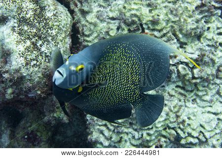 French Angel Fish Looking Straight At The Camera. The French Angelfish (pomacanthus Paru) Is A Large