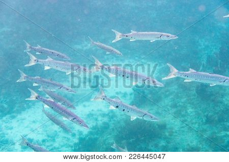 The Great Barracuda (sphyraena Barracuda) Also Known As The Giant Barracuda, Is A Common Species Of