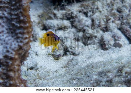 Stegastes Diencaeus, Is A Damselfish From The Western Atlantic. It Occasionally Makes Its Way Into T
