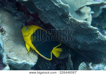 The Rock Beauty (holacanthus Tricolor) Is A Species Of Marine Angelfish Of The Family Pomacanthidae.