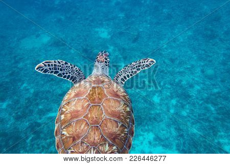 The Hawksbill Sea Turtle (eretmochelys Imbricata) Is A Critically Endangered Sea Turtle Belonging To