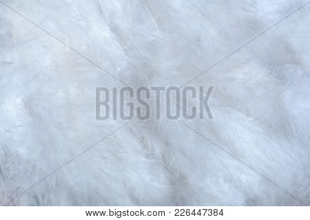 Beautiful White Background Of A Lot Of Soft Fluffy Bird Feathers.