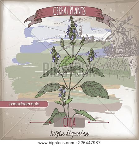 Salvia Hispanica Aka Chia Color Sketch With Field Landscape. Cereal Plants Collection. Great For Bak