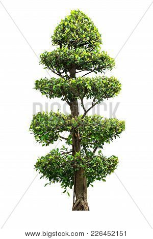 Banyan Tree For Garden Decoration Isolated On White Background