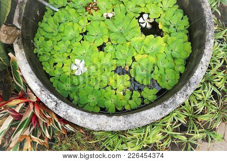 Pistia Or Pistia Stratiotes Plant And Duckweed In The Pond