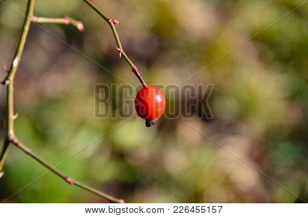 A Single And Lonely Rose Hip At A Branch.