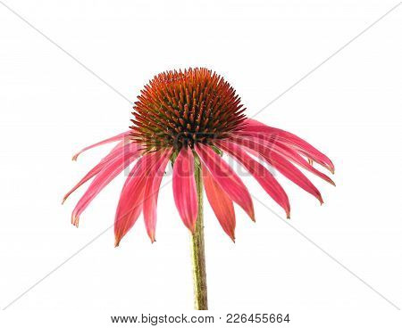 Colorful And Crisp Image Of Red Coneflower Isolated On White Background