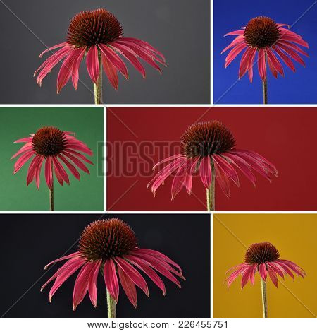 Colorful And Crisp Image Of Collage Red Coneflower On Dark Background