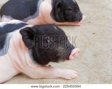 Pink And Black Newborn Piglets Looking And Staring In The Farm Show Business Concept Of Begging, Dou