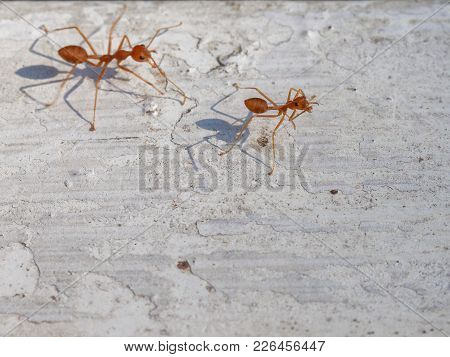 Two Fire Ants With Shadow Walking And Follow The Other To Work On White Vintage Background Show Busi
