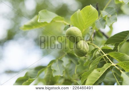 Walnut Nuts In Green Husk On Tree On Natural Background. Growth, Spring, Summer, Nature. Food, Seed,