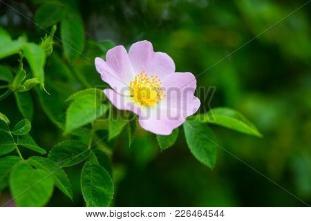 Wild Rose Flower Blossoming On Shrub, Spring. Dog Rose, Rosa Canina With Green Leaves, Beauty. Bloom