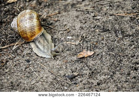 Snail Moving Slowly On The Ground Close Up