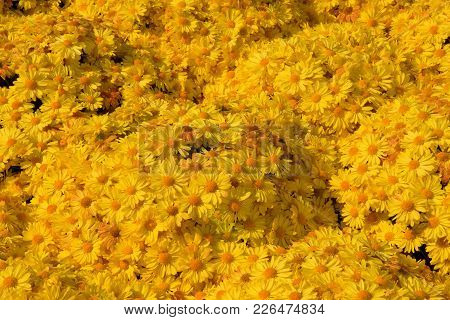 A Background Image Of Yellow Mums Flowers