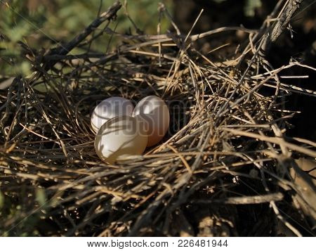 Eggs In The Nest Of An Arizona Rock Dove.
