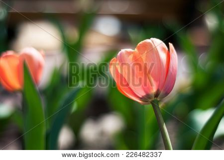 A Pink Tulip Flower Glows In The Sunlight Of A Spring Day.