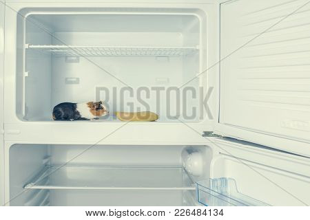 Red Little Guinea Pig In The Fridge With Banana