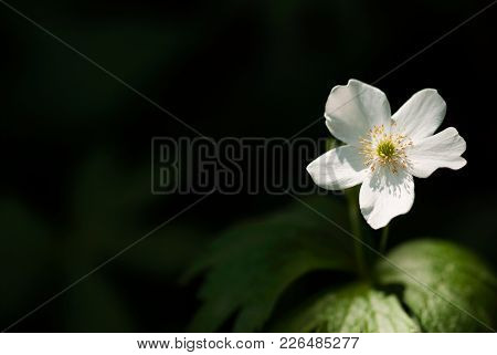 A White Wood Anemone Flower Is Lit By Sunlight Filtering Through The Trees.
