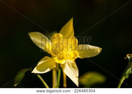 A Yellow Columbine Flower Blooms Against A Dark Background.