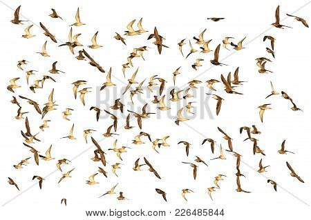 Flock Of Migrating Waders Isolated On White Background, Birds, Wild Nature In The Spring