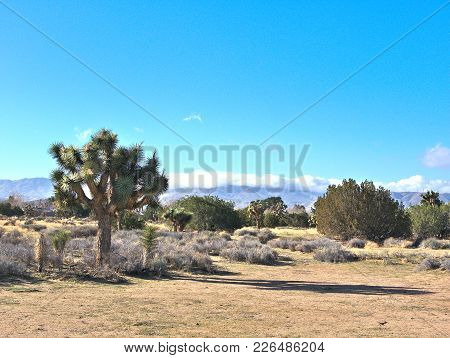 Joshua Trees In Desert Landscape With Blue Skies.