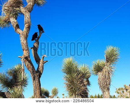 Joshua Trees With Crows In Them In Desert Landscape With Blue Skies.