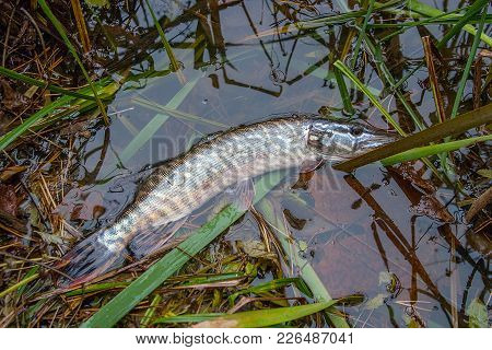 Catch And Release. Close Up View Of Small Freshwater Pike In The Water..