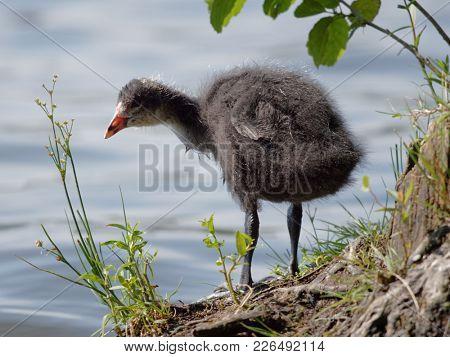Juvenile of Eurasian coot bird on a lake shore