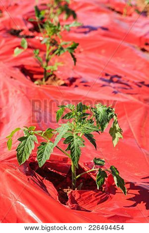 Young tomato plant newly transplanted into red plastic mulch.