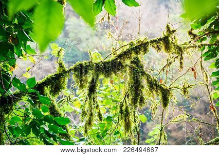 Moss In Forest. Moss On Tree And Sun Light