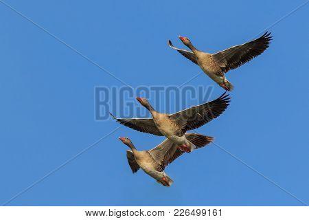 Wild Greylag Geese In Flight. Danube Delta, Romania