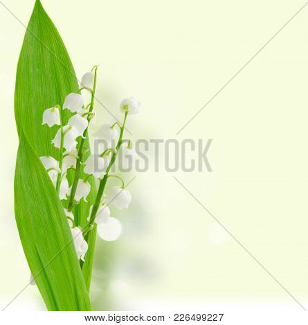 Lilly Of The Valley Flowers And Green Leaves Over White Background