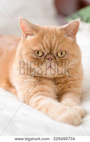 Exotic Persian Cat Looking Into Camera. Selective Focus