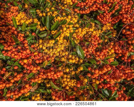 Close Up Shot Of An Abundance Of Winter Berries On A Garden Shrub.  The Berries Are Both Yellow And