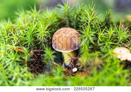 A Real White Mushroom In Moss. Mushroom Under The Moss.
