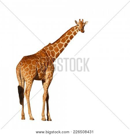 Giraffe isolated. Reticulated Giraffe cutout on white background