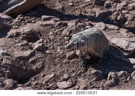 A Badger In Its Natural Setting On Rocks