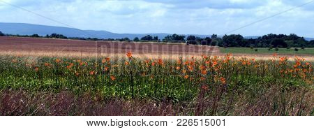 Gettysburg Battle Field.  Day Lilies Making Beautiful Which  Was Once A Field Of War, Death And Dest