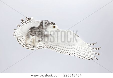 Snowy owl (Bubo scandiacus) flies low hunting over an open snowy cornfield in Canada