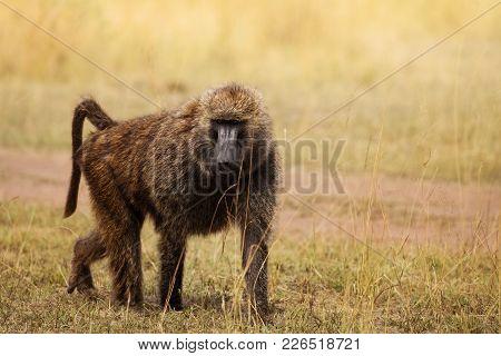 Portrait Of Adult Olive Baboon Foraging In Arid Kenyan Grassland, Africa