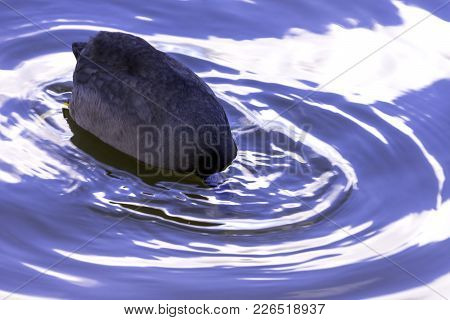 Eurasian Coot Diving In Bedfont Lakes Country Park, London, United Kingdom